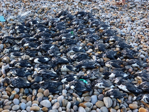 Dead seabirds Dorset Chesil Beach