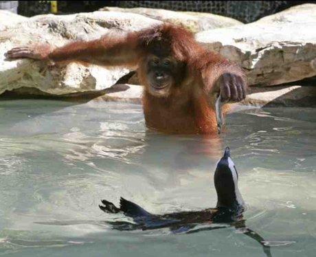 orangutan feeds penguin a fish