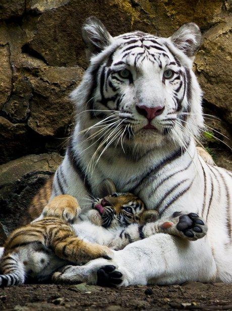 white tiger and orange cub