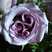 Image 10: A purple rose with three spirals