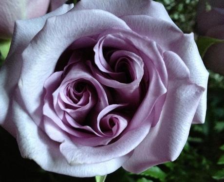 A purple rose with three spirals