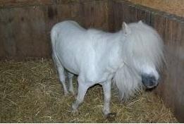Andover Hampshire Shetland ponies