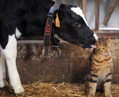 cat licking calf