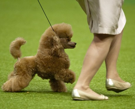 small brown poodle and owner