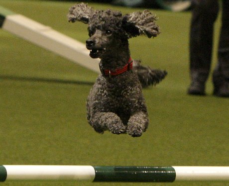 A grey dog jumping