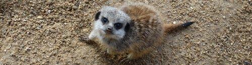 Meerkat pup at Cotswold Wildlife Park_2
