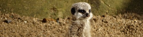 Meerkat pup at Cotswold Wildlife Park_3