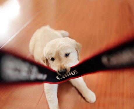 Labrador eats a camera strap
