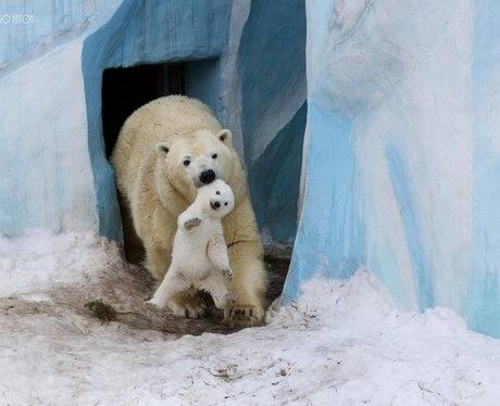 A polar bear carries its cub
