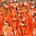 Flamingo slimbridge 2