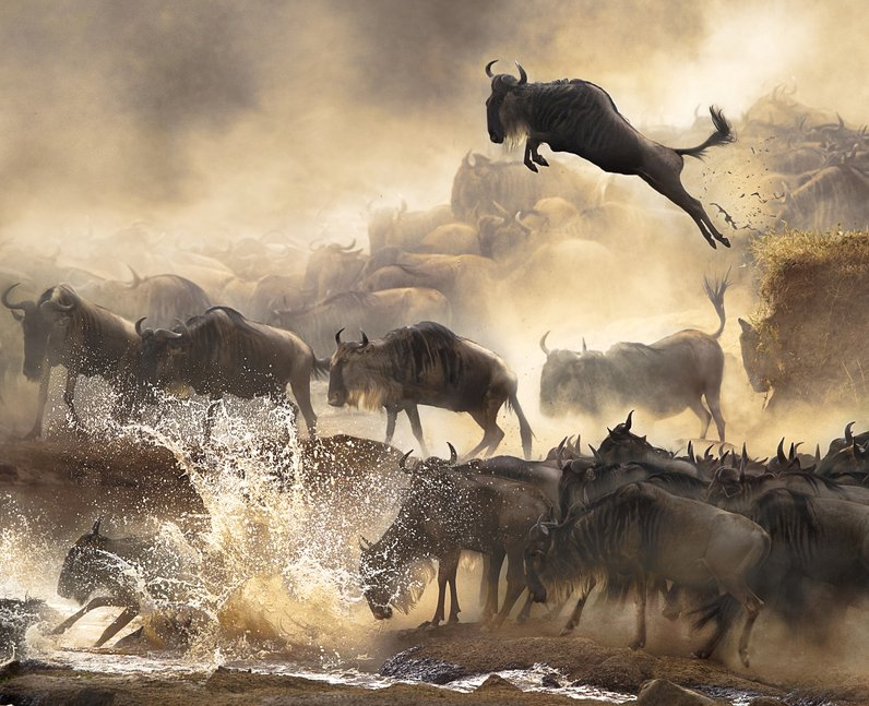 Wilderbeast leaping over a river