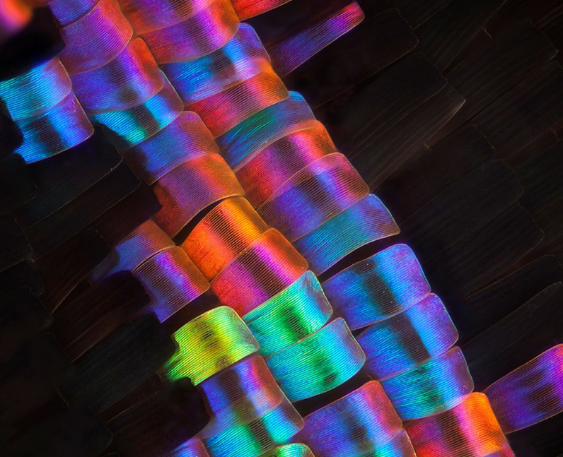 A colourful image of a butterfly wing close up