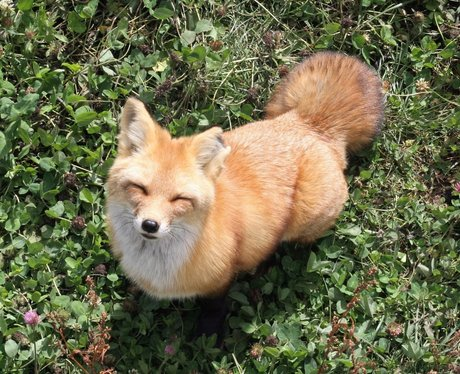 fox looking into the camera