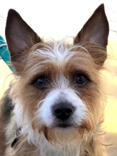 jack russell terrier looking into the camera