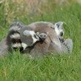 Lemur new borns