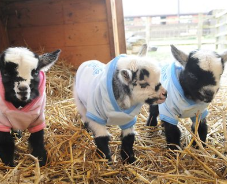 Baby goats in onesies