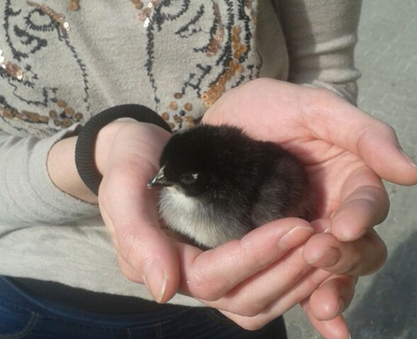 A chick sitting in a person's hand