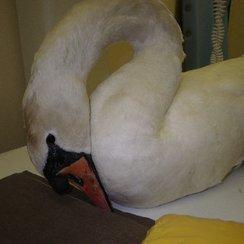 Swan Wisbech 2