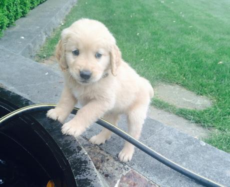 A golden labrador puppy