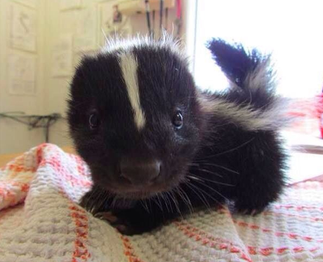 A baby skunk on a bed