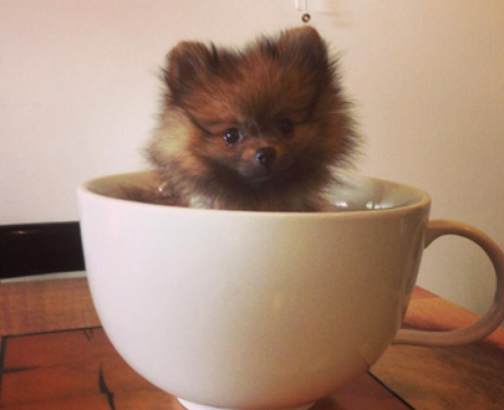 A dog in tea cup