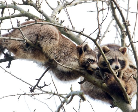 raccoons on a tree