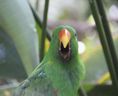 parrot screaming singing