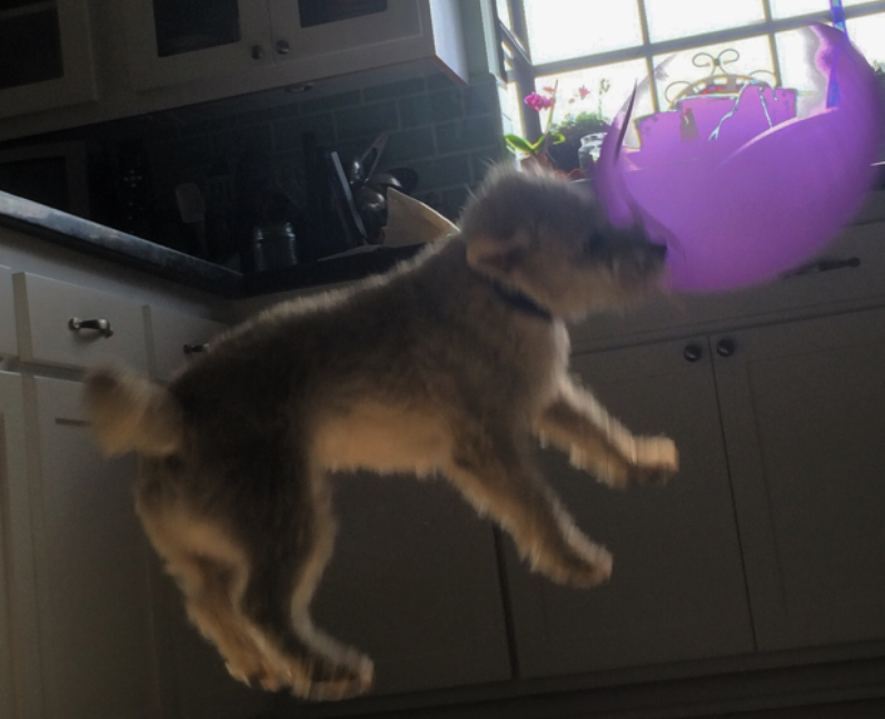 A dog jumping and popping a balloon.