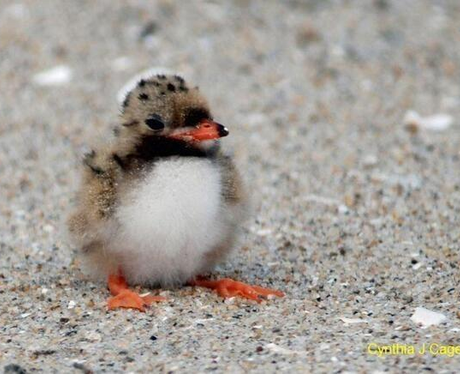 A baby puffin