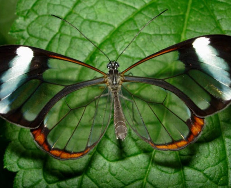 Butterfly with glass wings