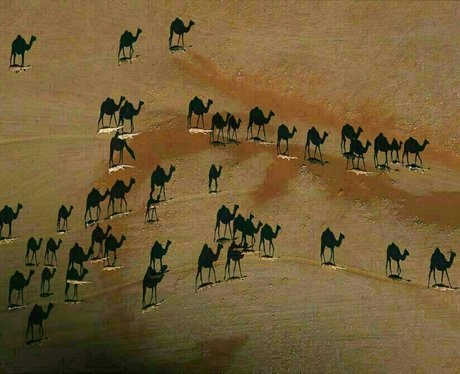 Aerial view of camels in a desert