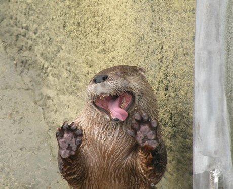 otter licking window