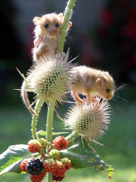 dormice eating berries