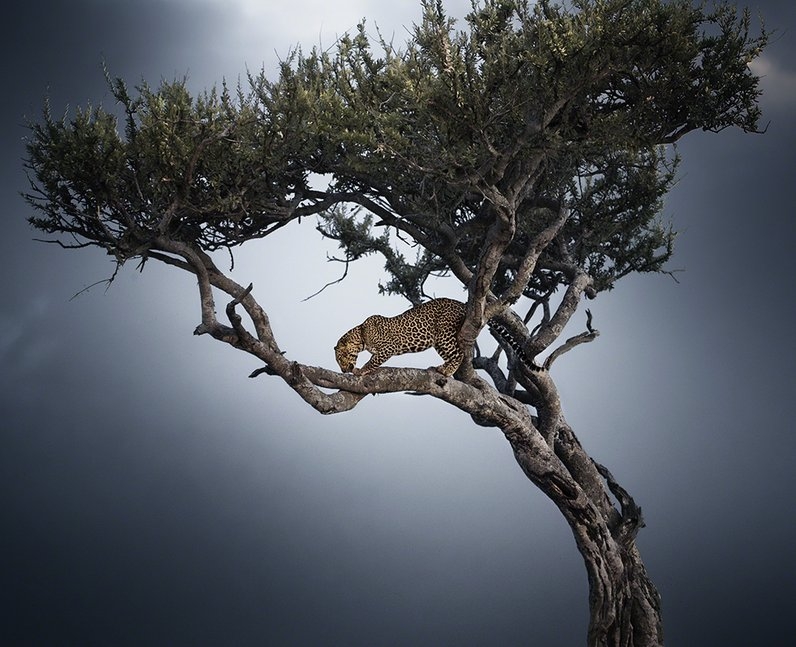 A leopard in a tree
