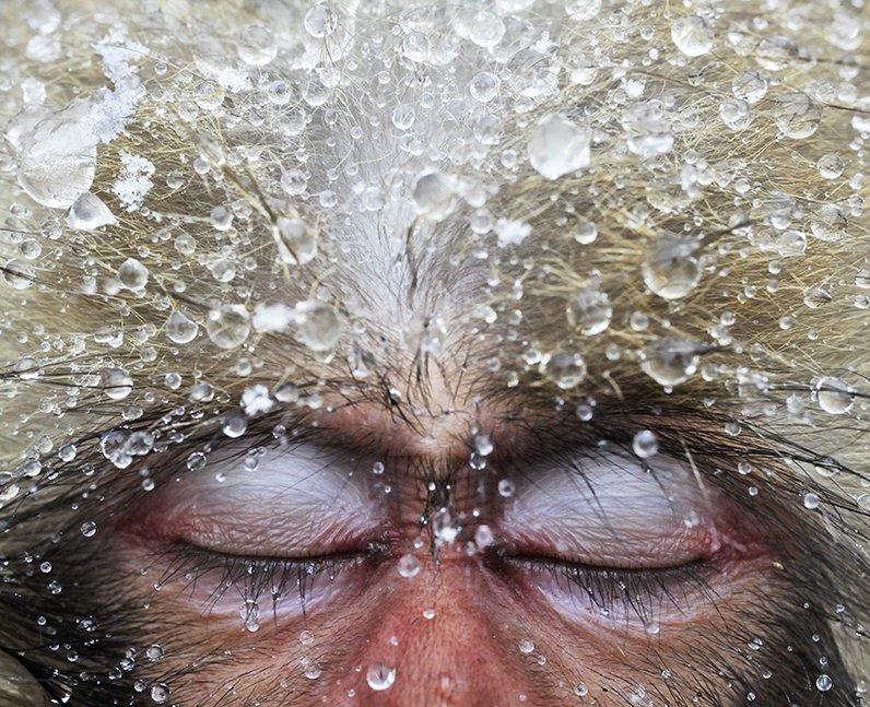 A macaques monkey sleeping