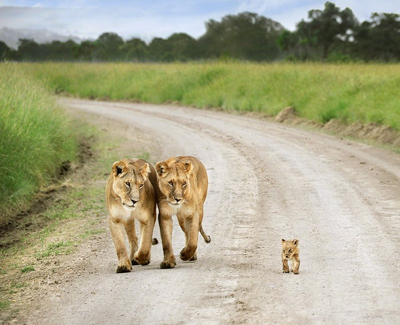 Two lions walking with their cub