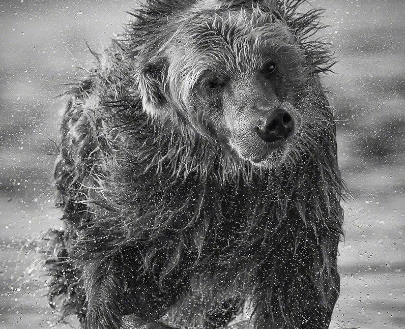 A bear shaking water off itself