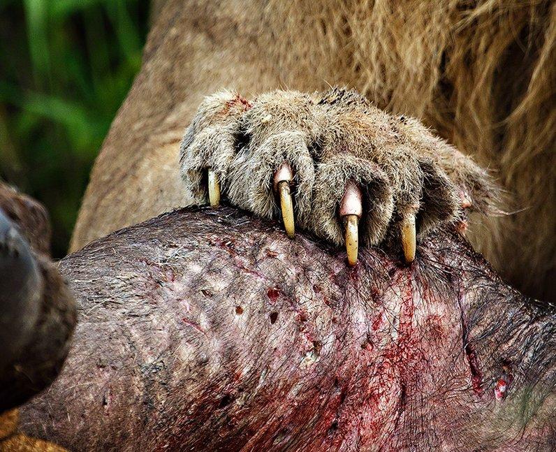 A lion claws it's prey