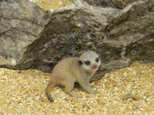 Marwell meerkats