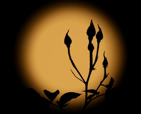 A rosebush in front of the Supermoon
