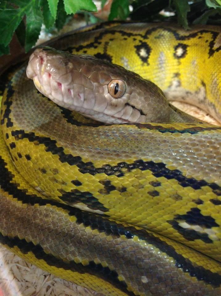 Rugby stolen snake