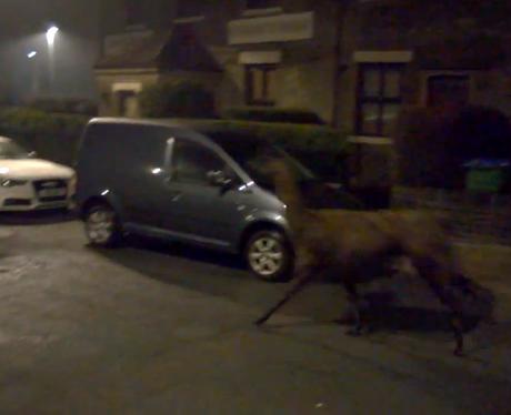 A llama running down the street