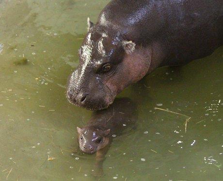 Baby pygmy hippo at Whipsnade Zoo