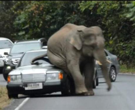 Horny elephant rubs himself on a car