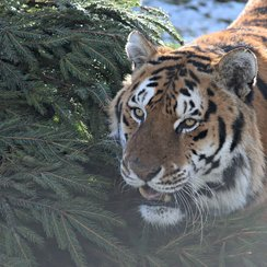 Tiger with Xmas tree at Noah's Ark Zoo Farm