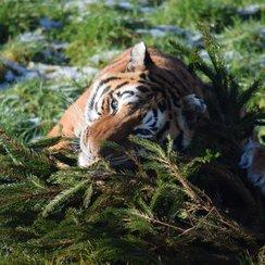 Tiger with Xmas tree at Noah's Ark Zoo Farm_2