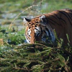 Tiger with Xmas tree at Noah's Ark Zoo Farm_3