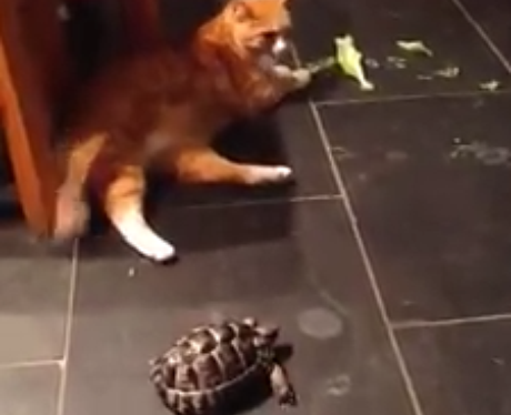 a cat and a tortoise