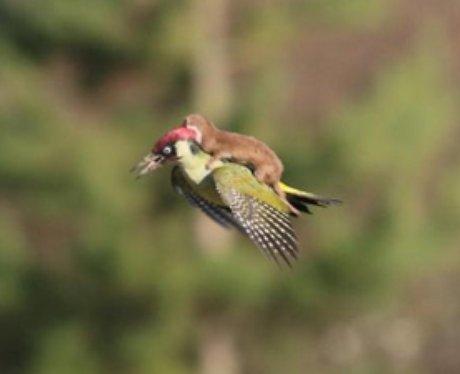 weasel riding a woodpecker