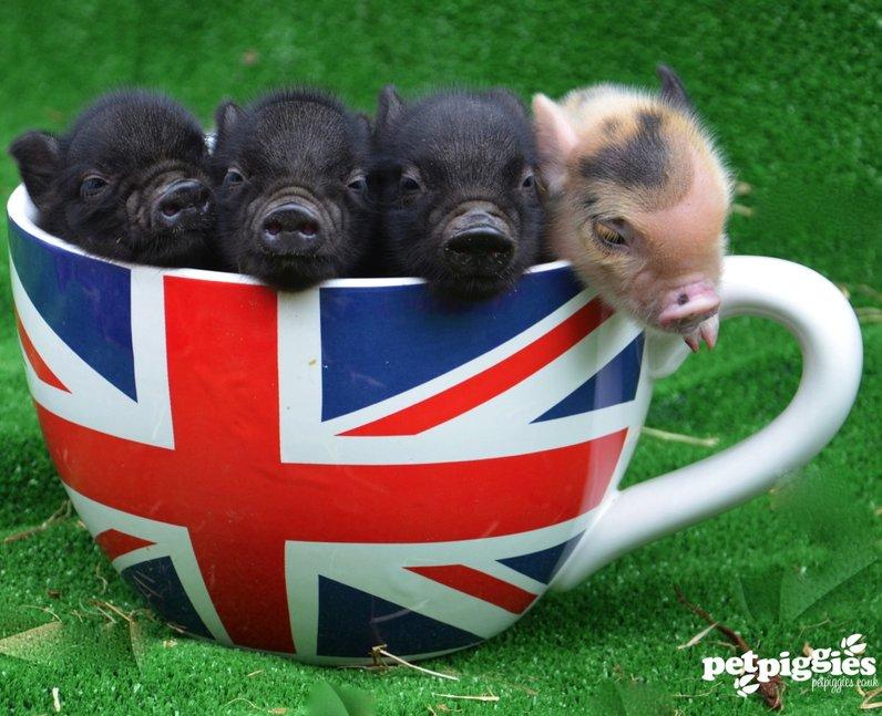 Petpiggies pigs